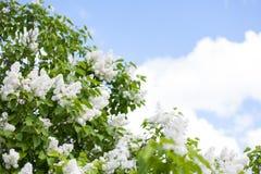 Bloeiende witte lilac, blauwe hemel en witte wolken Stock Foto