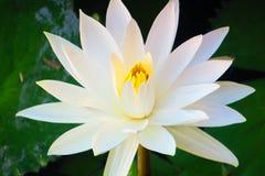 Bloeiende witte lotusbloem stock foto's