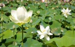 Bloeiende witte lotusbloembloemen Stock Foto's