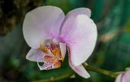 Bloeiende witte orchidee Stock Foto's