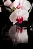 Bloeiende witte orchidee met waterbezinning Stock Foto's