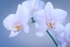 Bloeiende witte orchidee op groene tak Stock Foto