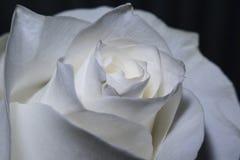 Bloeiende witte rozen Stock Foto