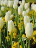Bloeiende witte tulp Stock Foto's