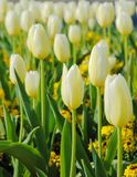 Bloeiende witte tulp Stock Foto