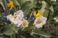 Bloeiende witte tulpen met waterdalingen royalty-vrije stock foto