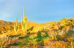 Bloeiende Woestijn royalty-vrije stock foto