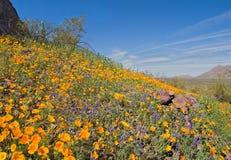 Bloeiende Woestijn Stock Foto