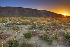 Bloeiende woestijn stock foto's