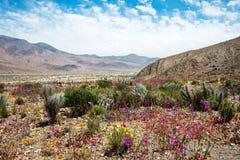 Bloeiende woestijn in de Chileense Atacama-Woestijn Stock Afbeeldingen