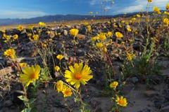 Bloeiende woestijnzonnebloemen (Geraea canescens), het Nationale Park van de Doodsvallei, de V.S. Stock Afbeeldingen