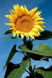 Bloeiende zonnebloem Royalty-vrije Stock Foto's