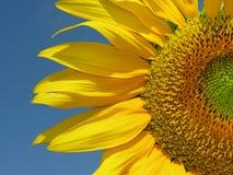 Bloeiende zonnebloem Royalty-vrije Stock Afbeelding