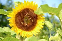 Bloeiende zonnebloem stock foto's