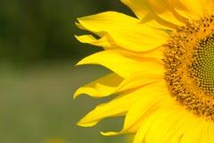 Bloeiende Zonnebloem Stock Foto