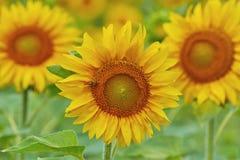Bloeiende Zonnebloem Royalty-vrije Stock Afbeeldingen