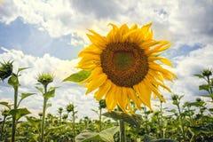 Bloeiende zonnebloem in de zomer Stock Afbeelding