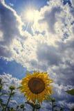 Bloeiende zonnebloem in de zomer Royalty-vrije Stock Fotografie