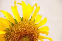 Bloeiende zonnebloemclose-up op witte backgroun Stock Afbeeldingen