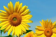 Bloeiende Zonnebloemen Royalty-vrije Stock Afbeeldingen