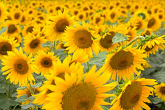 Bloeiende zonnebloemen stock foto's