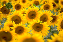 Bloeiende zonnebloemen royalty-vrije stock foto's