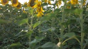 Bloeiende zonnebloemen op een achtergrondzonsondergang Zonnebloemen op het Gebied die in de Wind slingeren Close-up Mooie gebiede stock footage