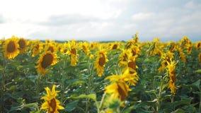 Bloeiende zonnebloemen op een achtergrondzonsondergang Zonnebloemen op het Gebied die in de Wind slingeren Close-up Mooie gebiede stock video