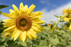 Bloeiende zonnebloemen op een gebied tegen een blauwe hemelachtergrond Stock Afbeelding