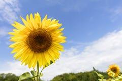 Bloeiende zonnebloemen tegen de blauwe hemel Stock Afbeelding
