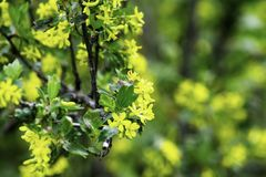 Bloeiende zwartebessestruiken in de lente, kleine gele bloemen tegen een achtergrond van groen gebladerte royalty-vrije stock foto's