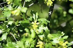 Bloeiende zwartebessestruiken in de lente, kleine gele bloemen tegen een achtergrond van groen gebladerte royalty-vrije stock afbeeldingen