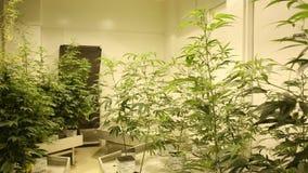 Bloeit de medische cannabis van de onderzoekwetenschap voor geneeskrachtige doeleinden, het detail van de marihuanahennep, de gro stock video