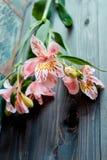 Bloeit de roze bloemen van Alstroemeria met bevlekte bloemblaadjes op een houten achtergrond met een zeer interessante textuur Stock Foto