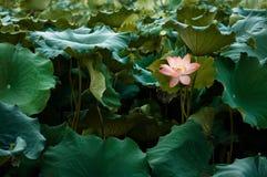Bloeit de volledige bloei Koninklijke lotusbloem onder groene bladeren in de beroemde vijver van de de Zomerlotusbloem van het We stock foto