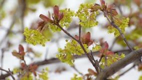 Bloeit en gaat van de esdoorn weg worden gehoord op de tak tijdens de regen De lente Close-up stock videobeelden