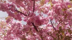 Bloeit fruit die bomen het tot bloei komen, kersenbomen en vliegende bijen rond de bloemen, de zon door de kers stock video