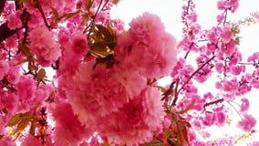 Bloeit fruit die bomen het tot bloei komen, kersenbomen en vliegende bijen rond de bloemen, de zon door de kers stock footage