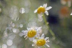 Bloeit gebiedskamille na de regen in de stralen van de het plaatsen zon Royalty-vrije Stock Afbeeldingen