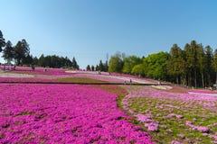 Bloeit het close-up kleine gevoelige roze witte mos Shibazakura, Floxsubulata hoogtepunt ter plaatse bloeiend in zonnige de lente stock fotografie