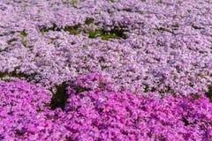 Bloeit het close-up kleine gevoelige roze witte mos Shibazakura, Floxsubulata hoogtepunt ter plaatse bloeiend in zonnige de lente stock foto's