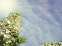 Bloeit hydrangea hortensia's op een struik op een achtergrond van een vage blauwe hemel met wolken in de zon Royalty-vrije Stock Foto's