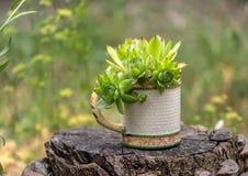 Bloeit succulents in de tuin stock afbeelding