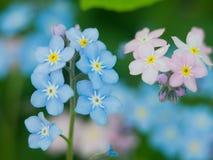 Bloeit vergeet-mij-nietjes blauw en roze als concept jongen en meisjeshouding van de geslachten van liefde en harmonische relatie Stock Foto