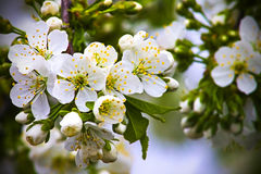 Bloeiwijze van de kersenlente, aardbloemen Royalty-vrije Stock Foto's