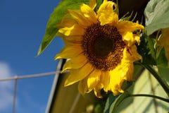 Bloeiwijze van zonnebloem tegen de hemel stock foto's
