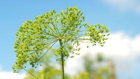 Bloeiwijzen van dille tegen de blauwe hemel Het kweken van dille op de aanplanting van een landbouwer Close-up bloeiende dille in stock footage