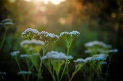 Bloeiwijzen van kleine witte bloemen bij zonsondergang Royalty-vrije Stock Foto