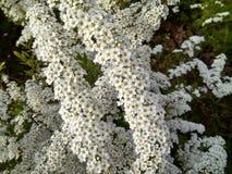 Bloeiwijzen van witte bloemen op struiken royalty-vrije stock foto's