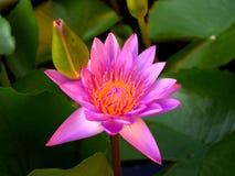 Bloem 02 van Lotus Stock Foto's